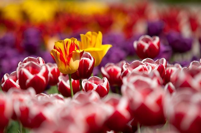 tulips-65305_640